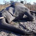 Dead elephant benefits community