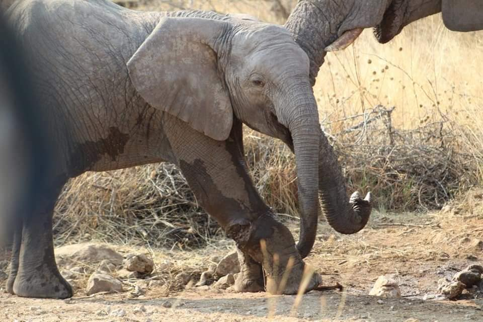 Helicopter search injured elephant calf launched Etosha National Park calf wire