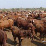 Foot-and-mouth disease detected in Kavango East