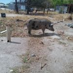 Pigs are a nuisance in Elyambala