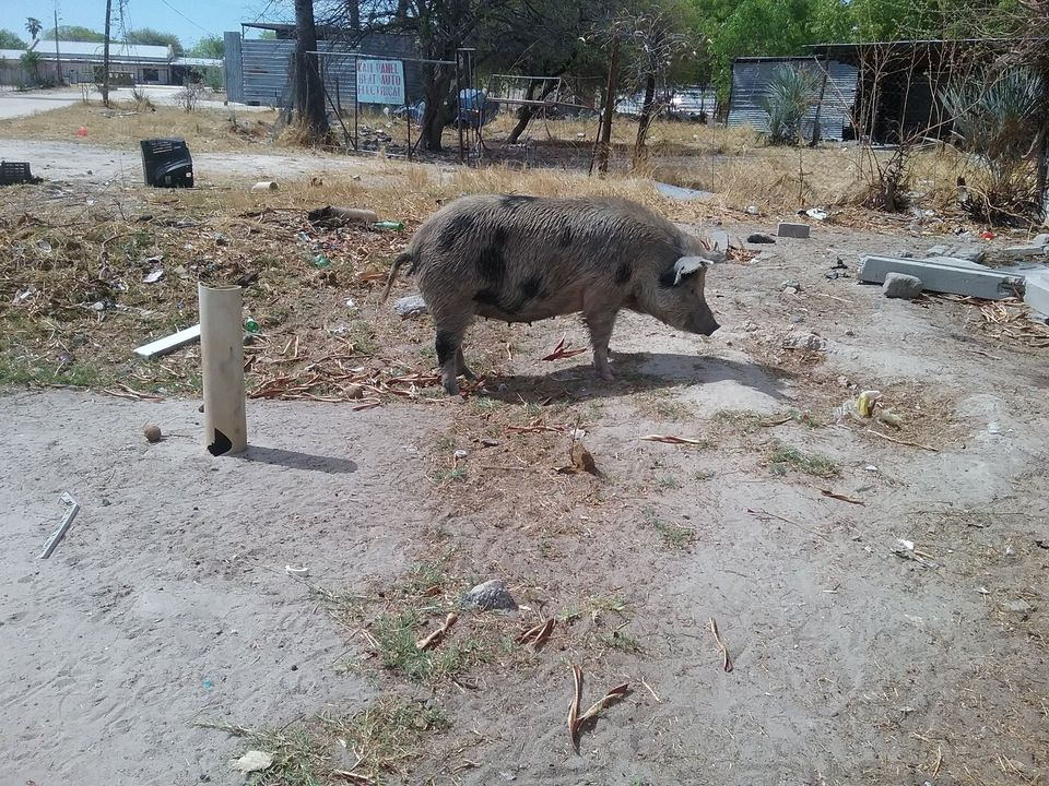 Ongwediva Town Council accused residents Elyambala stray pigs