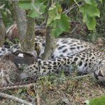 Suspected poacher killed by guard