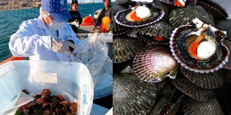 SANIPES prohíbe extracción de moluscos en el Callao por riesgo de Hepatitis A