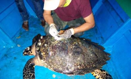 Primer marcaje de una tortuga carey hembra en la Isla Puná