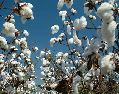 How to start cotton production enterprise in nigeria
