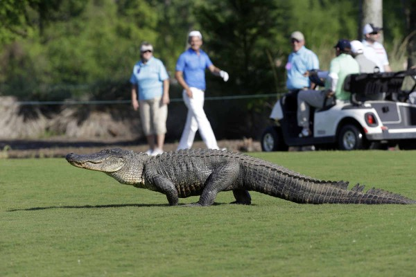 alligator_golf_2