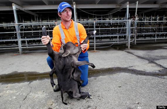 Deformed Calf Stillborn On New Zealand Dairy