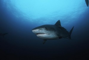 Fishermen-say-they-found-human-head-inside-shark