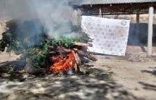 Asegura PGR sembradío de marihuana en Oaxaca