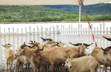Buscan certificación de la cabra criolla pastoreña