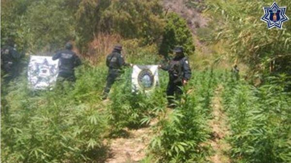 Destruye DRAI plantío de marihuana en valles centrales; SSPO