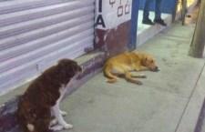 Denuncian proliferación de perros callejeros en Huajuapan