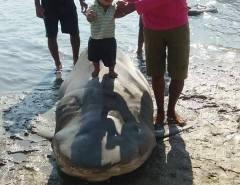 Pescadores capturam tubarão de 4 metros em Macau
