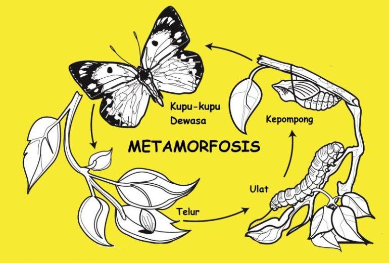 Proses Metamorfosis Kupu-kupu