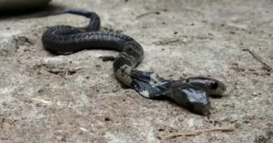Video: Encuentran una cobra de dos cabezas en la India