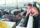 Inicia sacrificio de cerdos en Sánchez Ramírez