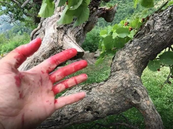 Elbasan/ Pema e veçantë me lëng flakë të kuq si gjaku