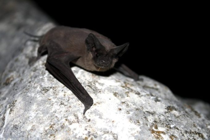 mexican free tailed bat maximum flying speed