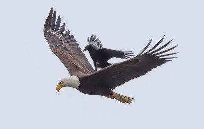 """Info Menarik: Burung Gagak """"Bertenggek"""" Di Belakang Burung Helang Di Udara!"""