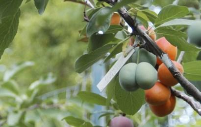 Info Viral: Pokok Ini Menghasilkan 40 Jenis Buah!