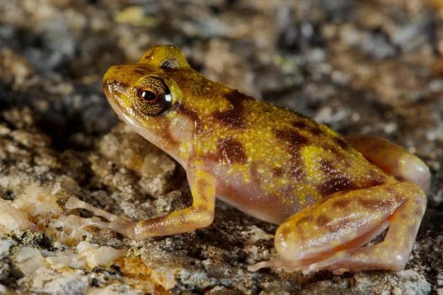 melville boulder frog