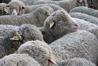 Troupeau de moutons par Senseveria.