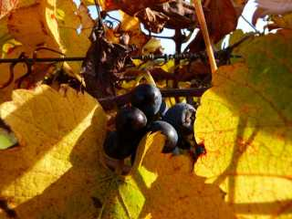 Raisins pour les grives par Louploup.