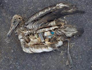 Cadavre d'albatros remplit de plastique.