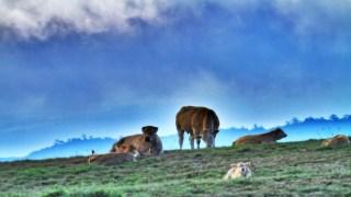 Vaches par Sunny974.