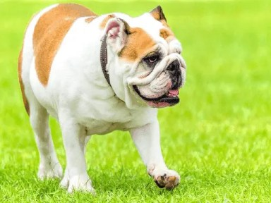 Different Types of Bulldogs that Owners Need to Understand English Bulldogs