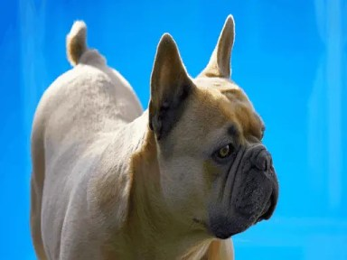 Different Types of Bulldogs that Owners Need to Understand French Bulldogs