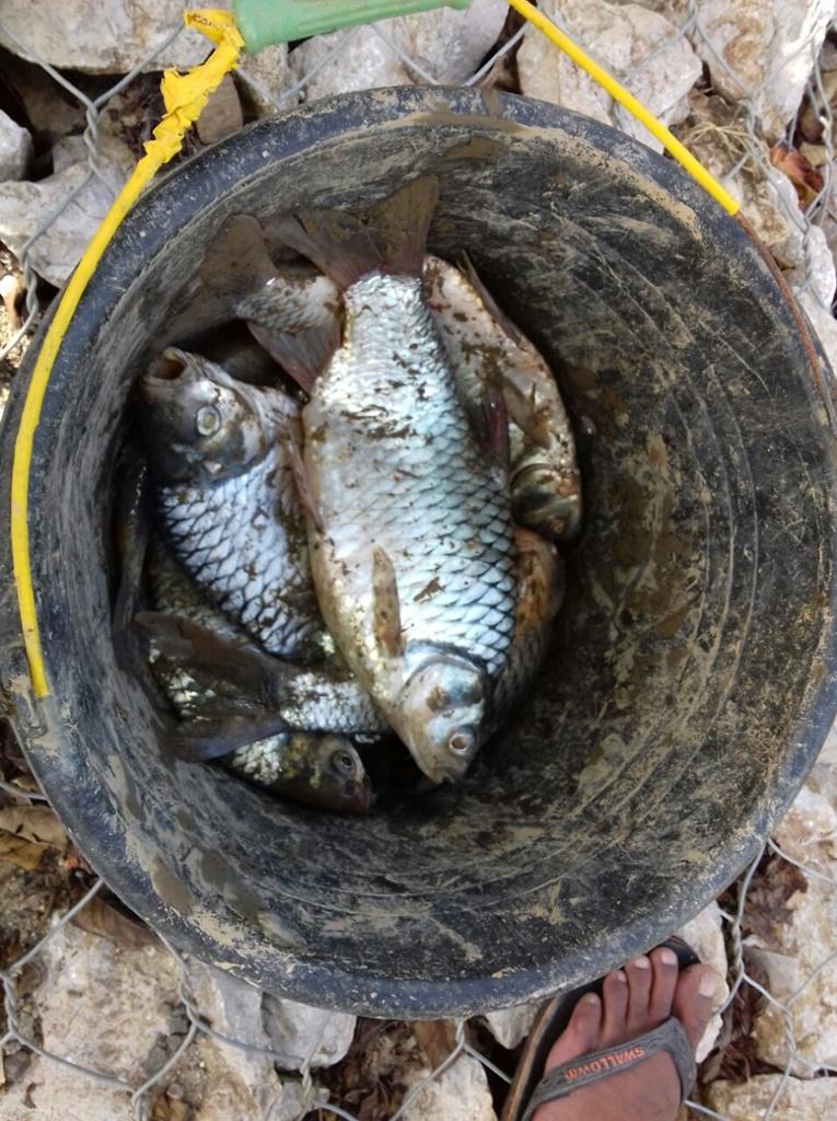 Ikan mati dan mengapung di sungai Sa'dan di panen warga.