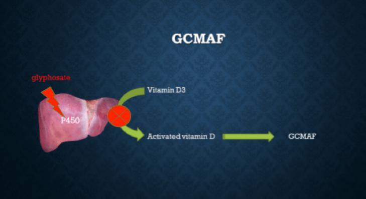 Como o GcMAF é formado no fígado com a ajuda da P450.