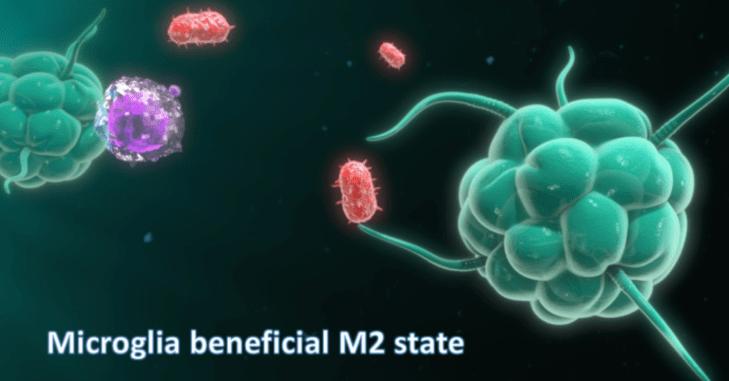Estado M2 Benéfico da microglia
