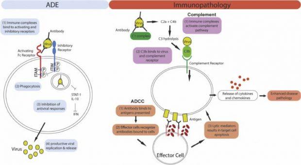 vacina COVID-19 sistema imunológico