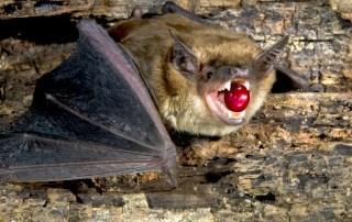 Bourbon Pointu и дикая летучая мышь из Мадагаскара африканский ответ Копи Лювак