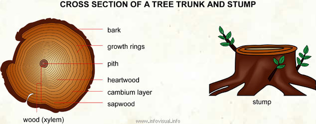 plant pith diagram cross section how to draw a network of tree trunk and stump visual dictionary