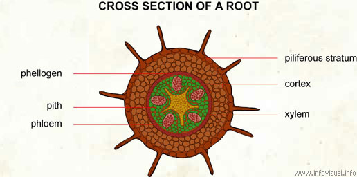 plant pith diagram cross section difference between type 1 2 diabetes of a root visual dictionary