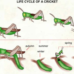 Cricket Life Cycle Diagram 12 Lead Electric Motor Wiring Of A Visual Dictionary