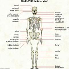 Diagram Of Skeletal Ribs 2005 Grand Cherokee Radio Wiring Skeleton Visual Dictionary