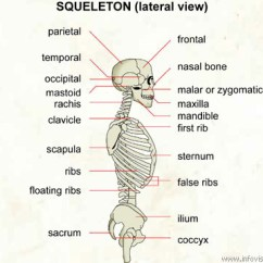 Diagram Of Skeletal Ribs 455 Olds Jet Boat Wiring Skeleton Lateral View Visual Dictionary