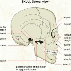 Human Mandible Diagram 2002 Mercury Sable Belt Skull Lateral View Visual Dictionary