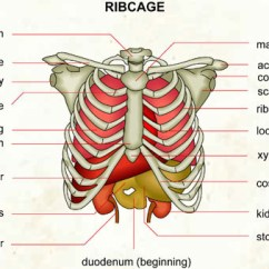 Diagram Of Ribs And Organs 2004 Ford E150 Wiring Ribcage Visual Dictionary Partager L Image
