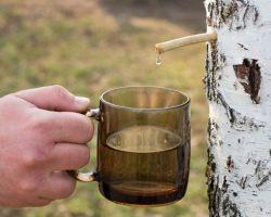 Березовый сок: польза и вред, полезные свойства, состав, как собирать?