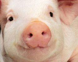 Почему евреи и мусульмане и не едят свинину? Можно дать этому научное обоснование