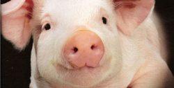 Почему евреи и мусульмане не едят свинину? Можно дать этому научное обоснование