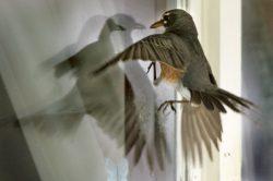 Приметы: Птица ударилась в окно дома, офиса, автомобиля. К чему это и что сулит?