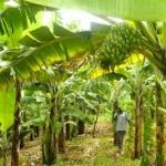 How To make Millions from Plantain Farming Business in Nigeria