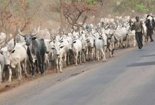 BREAKING: What thunder did to Fulani herdsmen and their cows will make you cry, photos of how it happened
