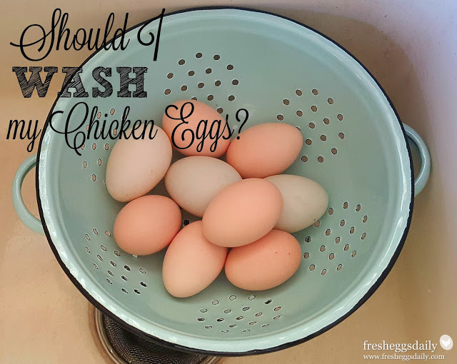 Should I Wash my Chicken Eggs  Info You Should Know